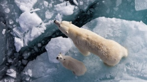 Polar-bear-and-global-warming_00445661
